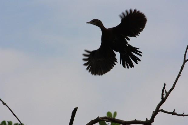 птичий заповедник Salim ali bird sanctuary баклан