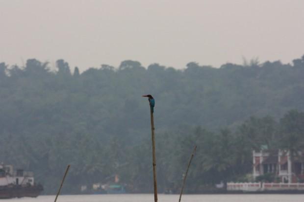птичий заповедник Salim ali bird sanctuary кингфишер