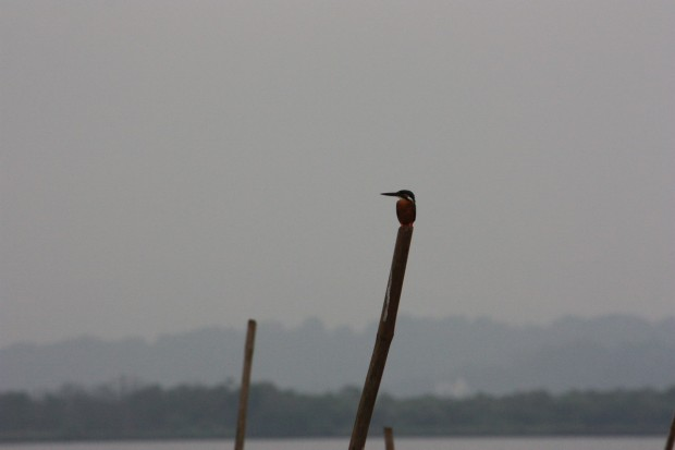 птичий заповедник Salim ali bird sanctuary кингфишер