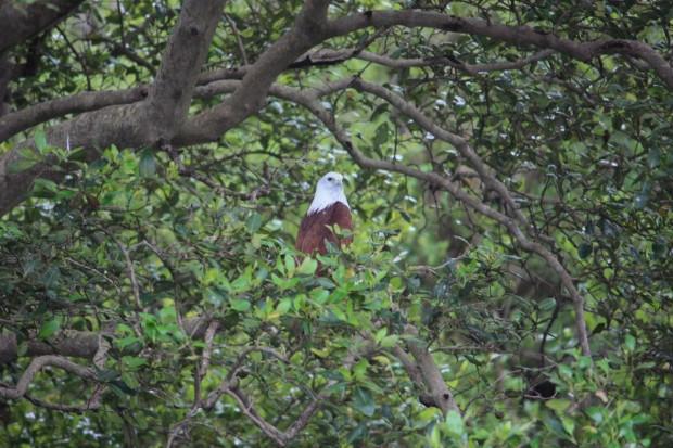 птичий заповедник Salim ali bird sanctuary орлан