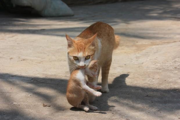 Рыжая кошка в Гоа