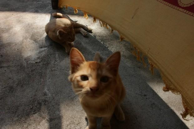Гоанский кот Рыжик